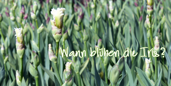 Wann-Bl-hen-die-Iris5551c4731964a